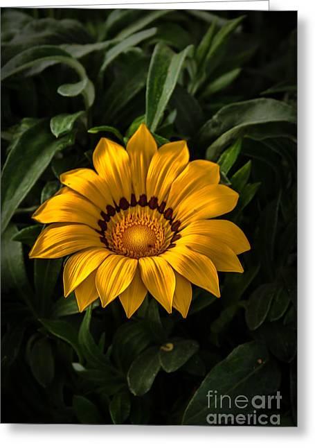 Haybale Greeting Cards - Yellow Gazania Greeting Card by Robert Bales