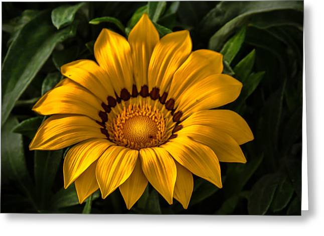Yellow Gazania Greeting Card by Robert Bales