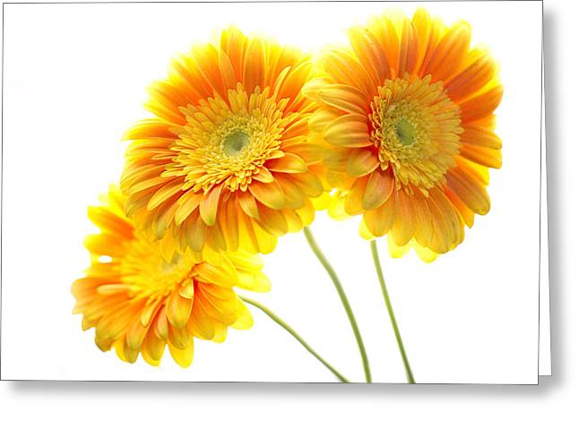 Yellow Gerber Trio Greeting Card by Rebecca Cozart