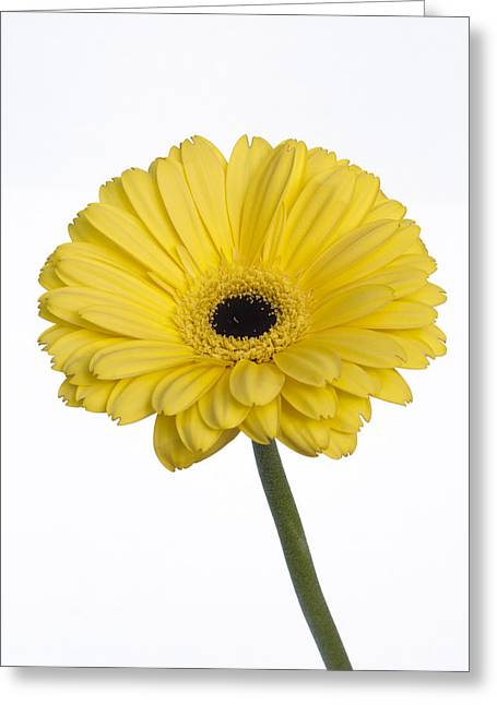 Innocence Greeting Cards - Yellow Gerbera Daisy Greeting Card by K Powers  Photography