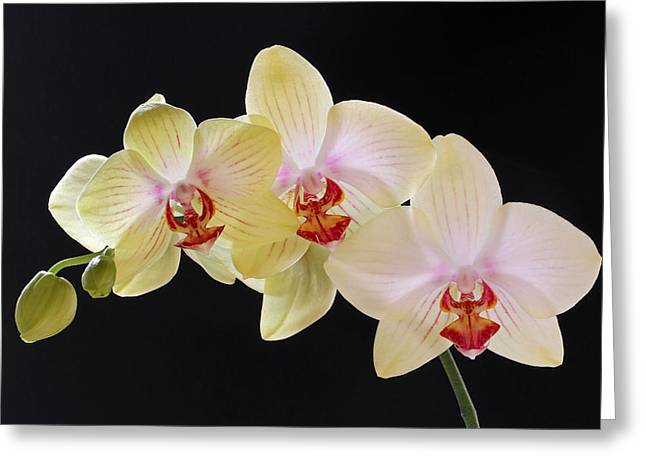 Orchid Canvas Greeting Cards - Yellow Grace Greeting Card by Juergen Roth