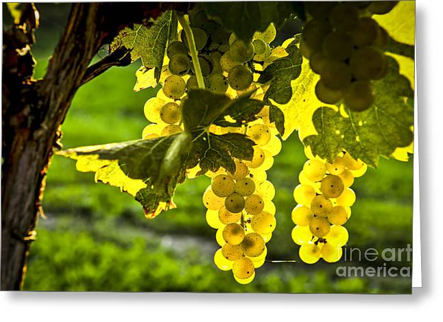 White Grapes Greeting Cards - Yellow grapes in sunshine Greeting Card by Elena Elisseeva