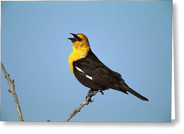 Blackbird Greeting Cards - Yellow-headed Blackbird Singing Greeting Card by Tom Vezo