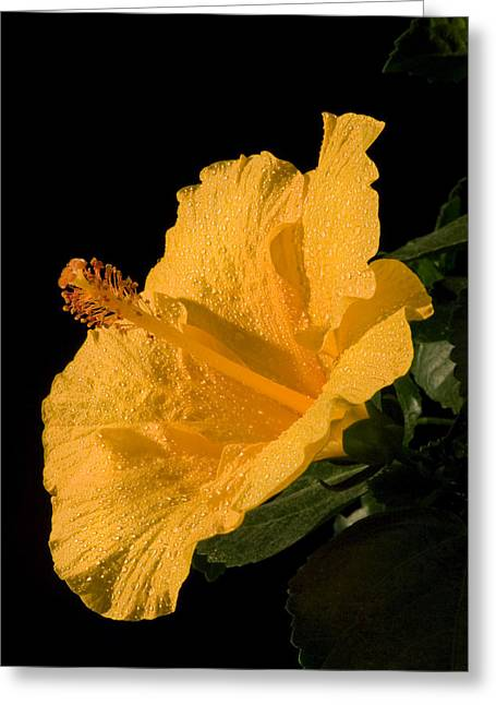 Pistils Greeting Cards - Yellow Hibiscus Flower Water Drops Greeting Card by Keith Webber Jr