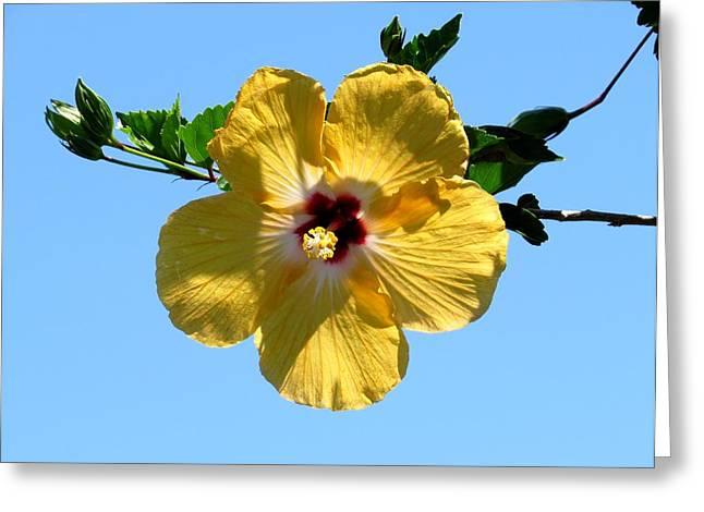 Yellow Hibiscus Greeting Card by Zina Stromberg