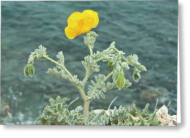 Yellow Horned Poppy (glaucium Flavum) Greeting Card by Bob Gibbons