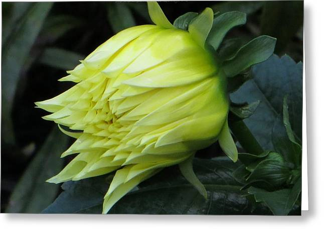 Dinner-plate Dahlia Greeting Cards - Yellow in bloom Greeting Card by Sonali Gangane