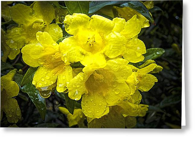 Jessamine Greeting Cards - Yellow Jessamine Greeting Card by Terry Shoemaker