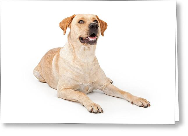 Companion Dog Greeting Cards - Yellow Lab Laying Down Greeting Card by Susan  Schmitz