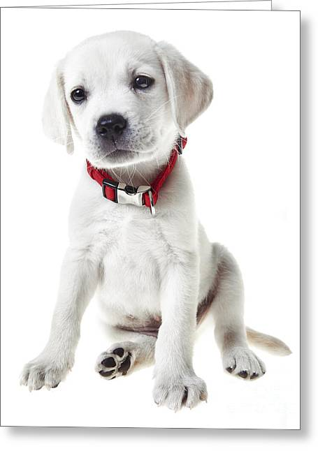 Puppies Greeting Cards - Yellow Lab Puppy Greeting Card by Diane Diederich