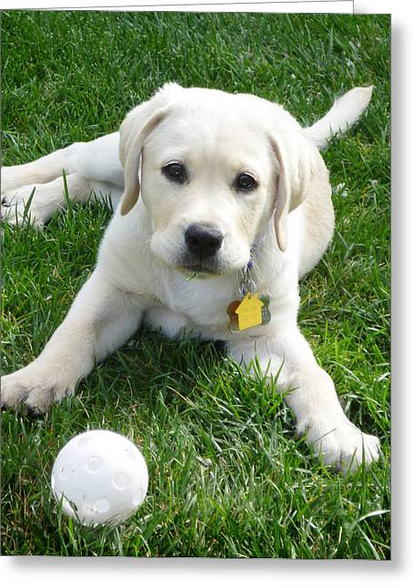 Ball Games Greeting Cards - Yellow Lab Puppy Got A Ball Greeting Card by Irina Sztukowski