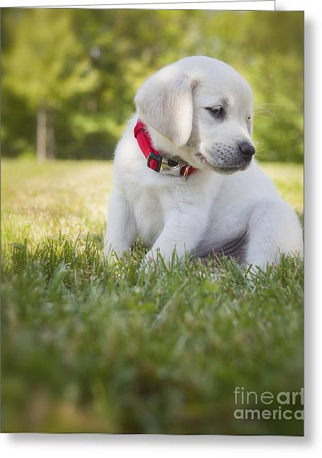 Pensive Greeting Cards - Yellow lab puppy in the grass Greeting Card by Diane Diederich