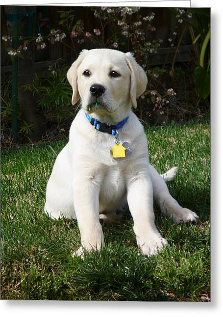 Ball Games Greeting Cards - Yellow Lab Puppy Standing Guard  Greeting Card by Irina Sztukowski