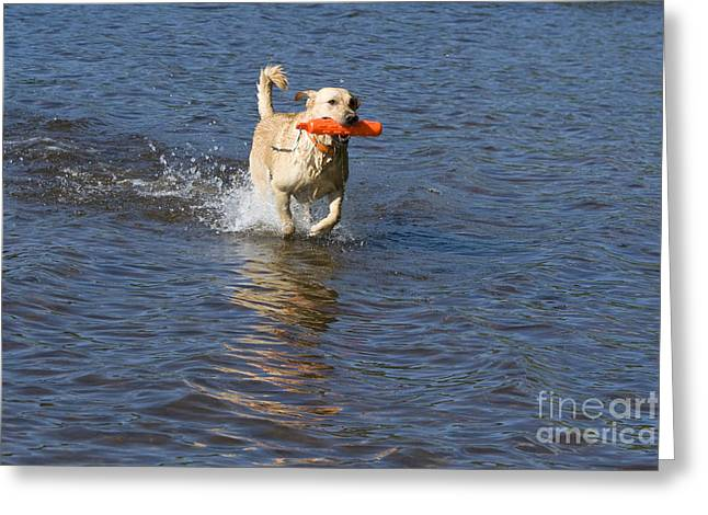 Toy Dog Greeting Cards - Yellow Lab Retrieving Toy Greeting Card by Linda Freshwaters Arndt