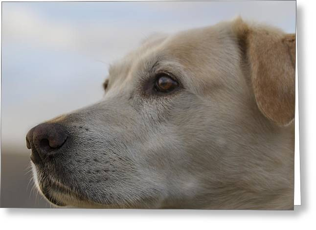 Oregon Ducks Greeting Cards - Yellow Lab Watching Greeting Card by Jean Noren