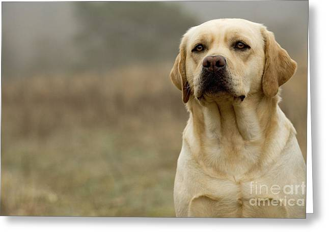 Breeds Greeting Cards - Yellow Labrador Greeting Card by Jean-Michel Labat