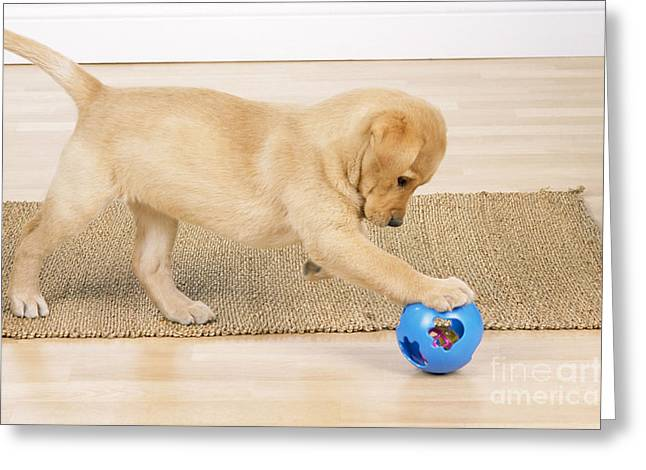 Young Labrador Retrievers Greeting Cards - Yellow Labrador Puppy Greeting Card by John Daniels