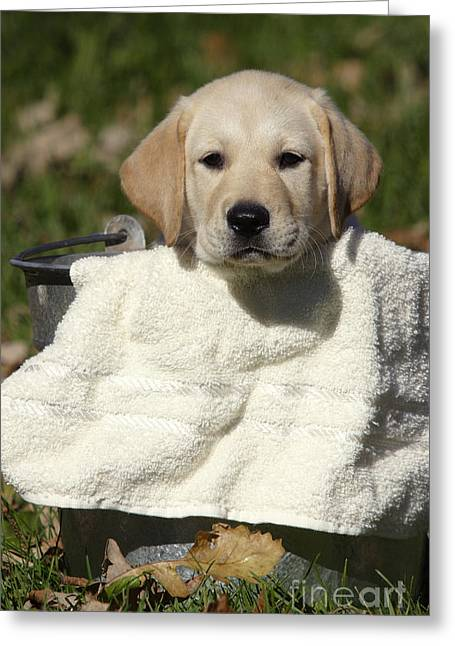 Yellow Dog Greeting Cards - Yellow Labrador Puppy Greeting Card by Linda Freshwaters Arndt