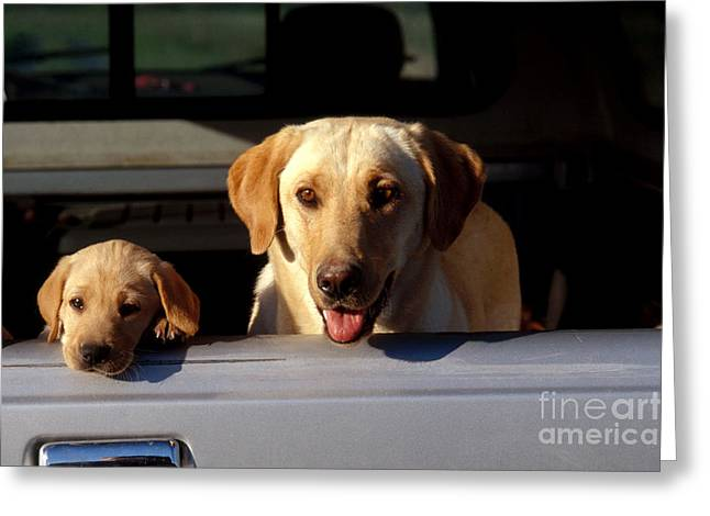 Yellow Dog And Truck Greeting Cards - Yellow Labrador Retriever And Puppy Greeting Card by William H. Mullins