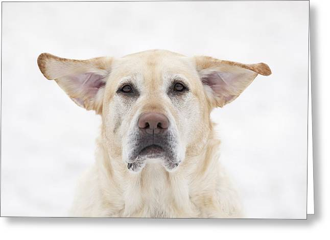 Yellow Labrador Retriever Dog With Greeting Card by Ken Gillespie