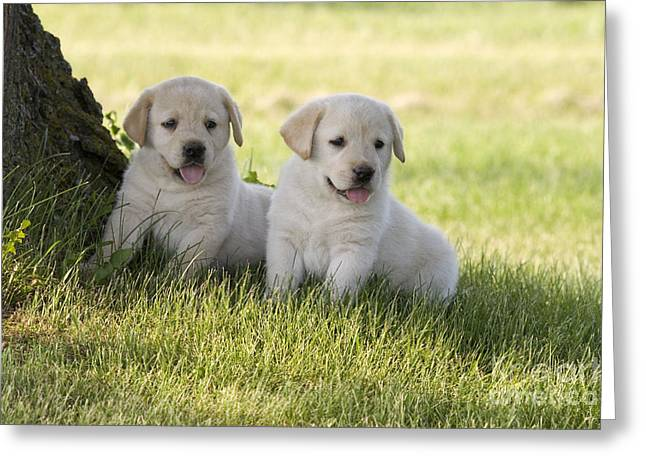 Yellow Labrador Retriever Puppies Greeting Card by Linda Freshwaters Arndt