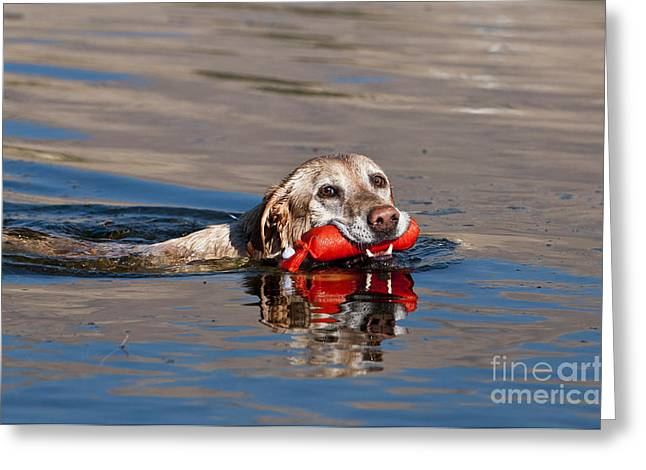 Wet Dogs Greeting Cards - Yellow Labrador Retriever, Retrieving Greeting Card by William H. Mullins