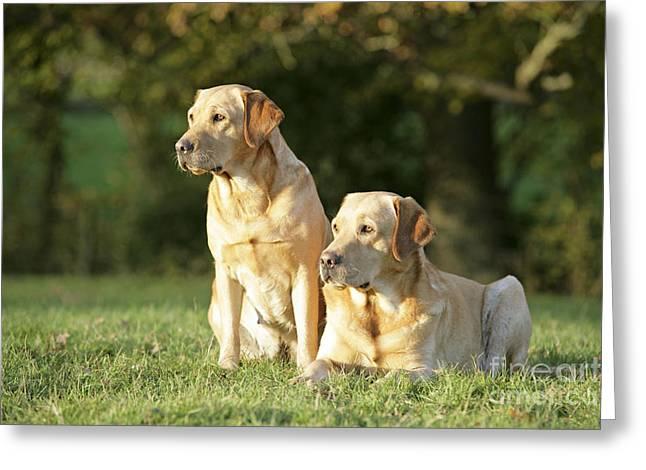 Gundog Greeting Cards - Yellow Labrador Retrievers Greeting Card by John Daniels
