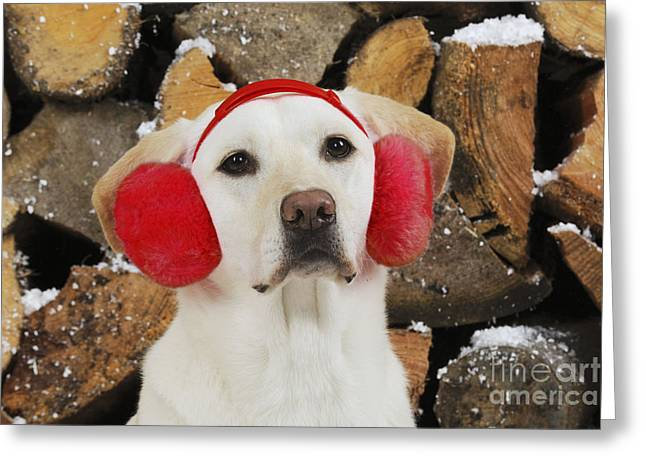 Earmuffs Greeting Cards - Yellow Labrador With Ear Muffs Greeting Card by John Daniels