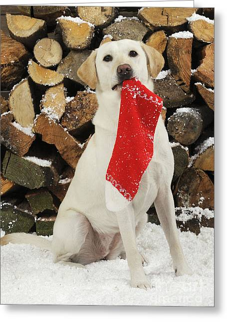 Yellow Labrador With Stocking Greeting Card by John Daniels