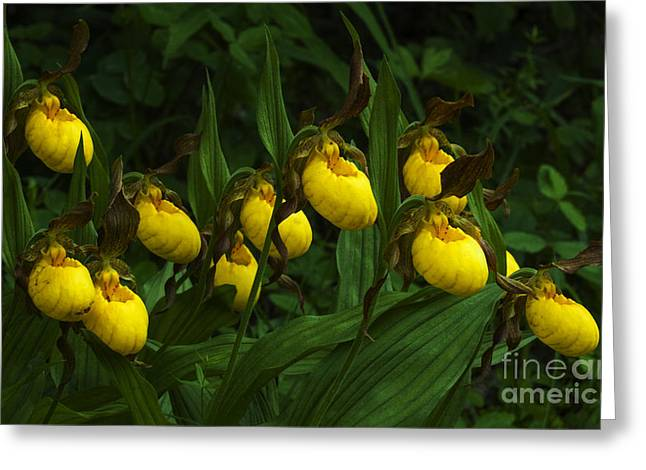 Purple. Wild Orchid Greeting Cards - Wildflowers Yellow Lady Slipper Orchids 2 Greeting Card by Bob Christopher