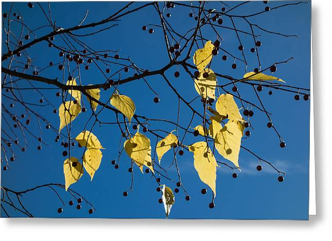 Himmel Greeting Cards - Yellow leaves and blue sky in autumn Greeting Card by Matthias Hauser