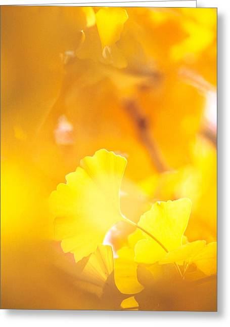 Yellow Leaves Greeting Cards - Yellow Leaves, Autumn, Backlit Greeting Card by Panoramic Images