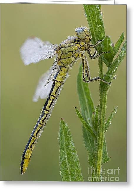 Dew Covered Greeting Cards - Yellow-legged Clubtail Dragonfly Greeting Card by Frank Derer