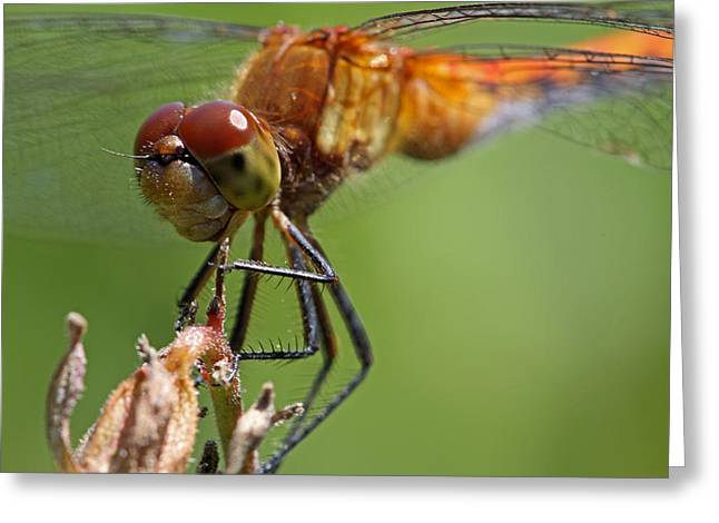 Yellow-legged Meadowhawk Dragonfly Greeting Card by Juergen Roth