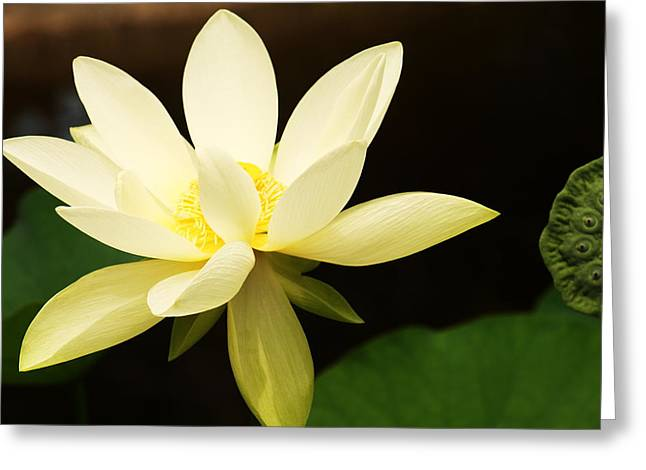 Water Lilly Greeting Cards - Yellow Lilly Greeting Card by TJ OHare
