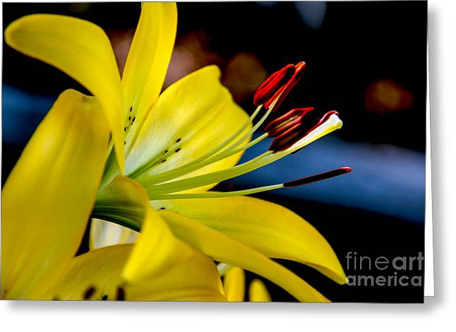 Yellow Lily Anthers Greeting Card by Robert Bales
