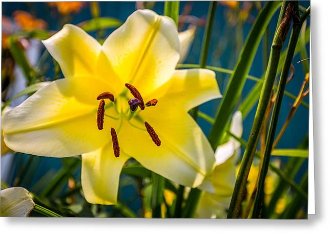 Cassablanca Greeting Cards - Yellow Lily Greeting Card by Todd Reese