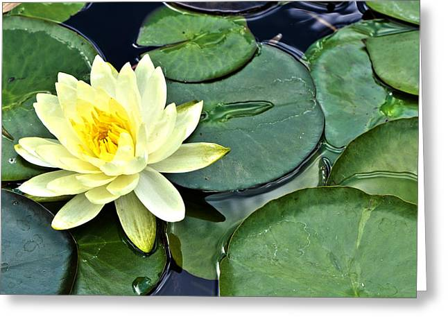 Lotus Lily Greeting Cards - Yellow Lotus - Botanical Art by Sharon Cummings Greeting Card by Sharon Cummings