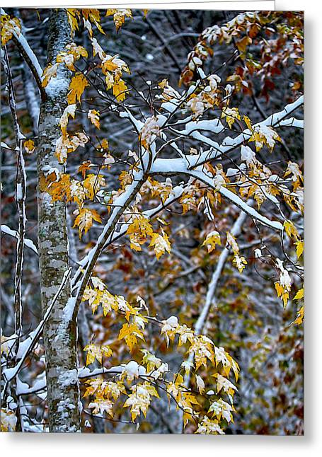 Yellow Maple And Snow Greeting Card by John Haldane