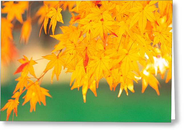 Yellow Leaves Greeting Cards - Yellow Maple Leaves, Autumn Greeting Card by Panoramic Images