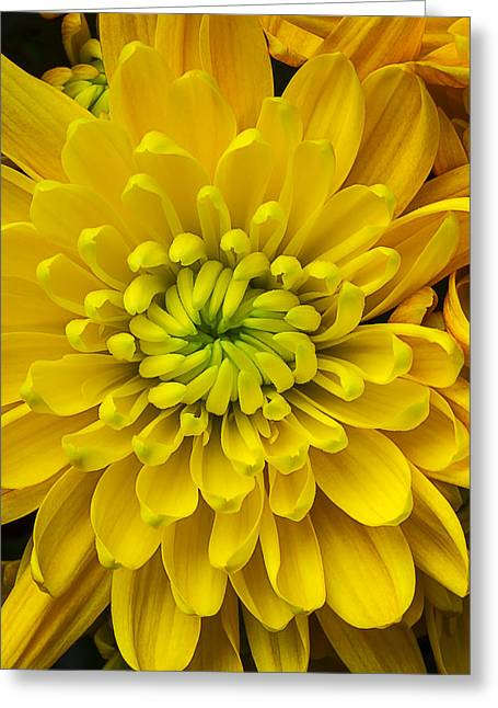 Yellow Mum Greeting Card by Garry Gay
