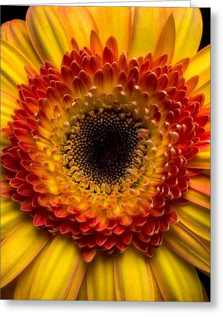 Mum Greeting Cards - Yellow mum simplicity  Greeting Card by Garry Gay