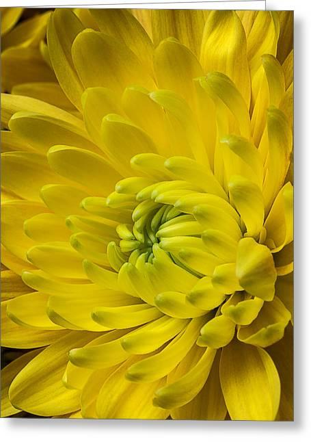 Yellow Mum Still Life Greeting Card by Garry Gay