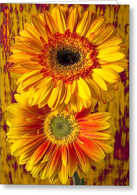 Gerbera Greeting Cards - Yellow mums together Greeting Card by Garry Gay