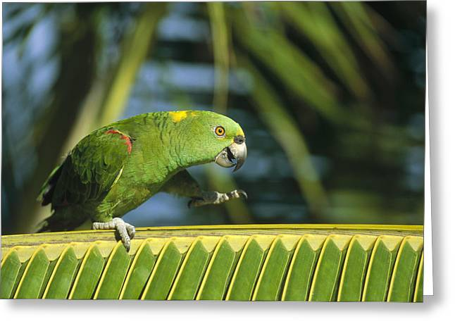 Amazon Parrot Greeting Cards - Yellow-naped Parrot  Amazon Brazil Greeting Card by Konrad Wothe
