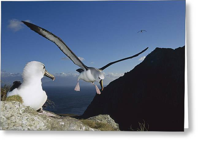 Diomedeidae Greeting Cards - Yellow-nosed Albatross Landing Tristan Greeting Card by Tui De Roy