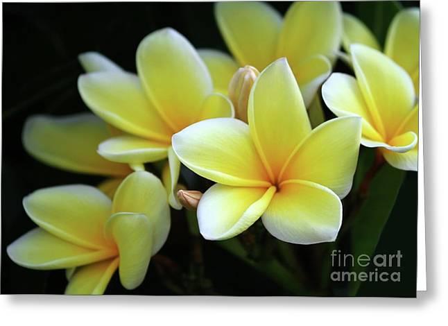 Plumeria Greeting Cards - Yellow Plumeria Cascade Greeting Card by Sabrina L Ryan
