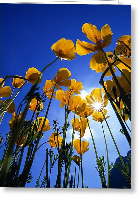 Empty Eyes Greeting Cards - Yellow Poppies Stylophorum Diphyllum Greeting Card by Natural Selection John Reddy