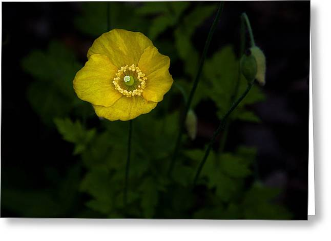 The Glade Greeting Cards - Yellow Poppy Greeting Card by Marion McCristall