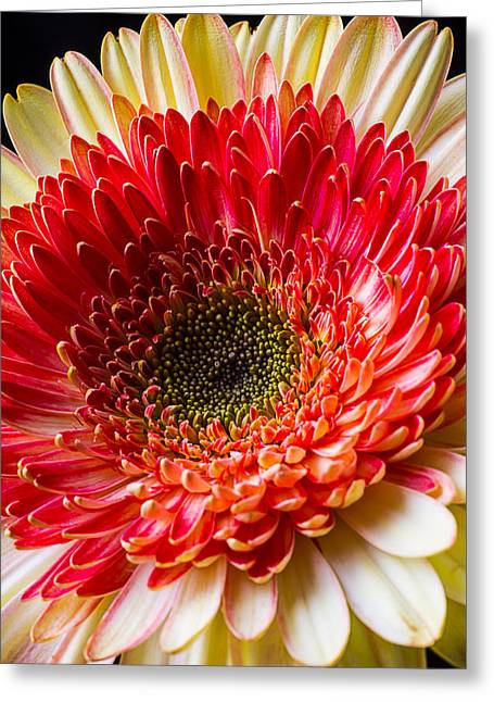 Gerbera Daisy Greeting Cards - Yellow Red Daisy Greeting Card by Garry Gay